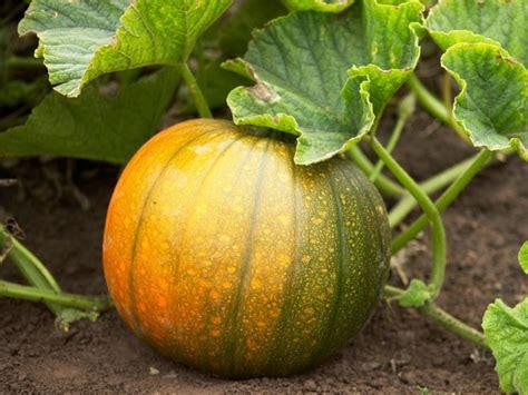 zucca coltivazione in vaso coltivazione zucca coltivazione ortaggi come coltivare