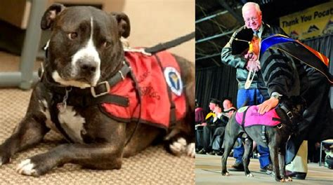 how to a pitbull to be a service service pit bull walks in deceased owner s place at graduation