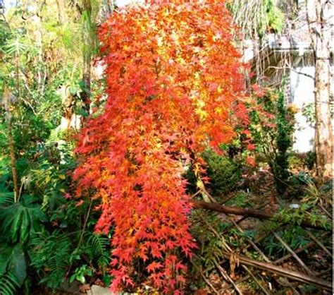 maple tree zone 4 acer palmatum ryusen white flower farm facts common name japanese maple hardiness zone