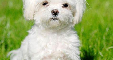 cani da appartamento pelo corto maltese pelo corto cani taglia piccola razza maltese