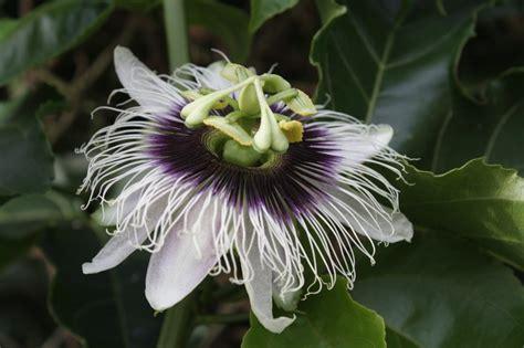 foto dei fiori fiori pi 249 belli dell asia naturalis