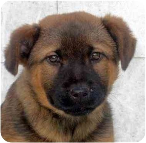 chow shepherd puppies twinkie adopted puppy chicago il german shepherd chow chow mix