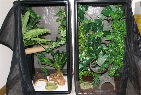 gargoyle gecko facts habitat diet life cycle baby