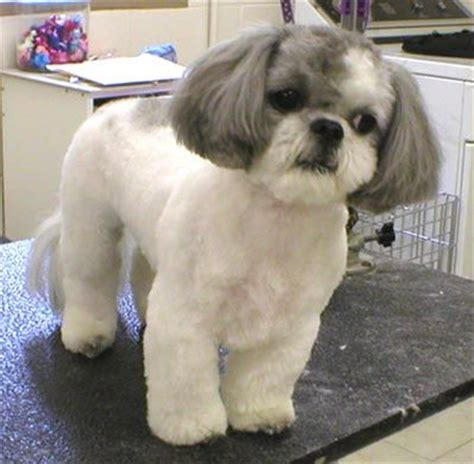 1000 images about barkley shih tzu hair cuts on pinterest 1000 images about shih tzu pictures on pinterest shih