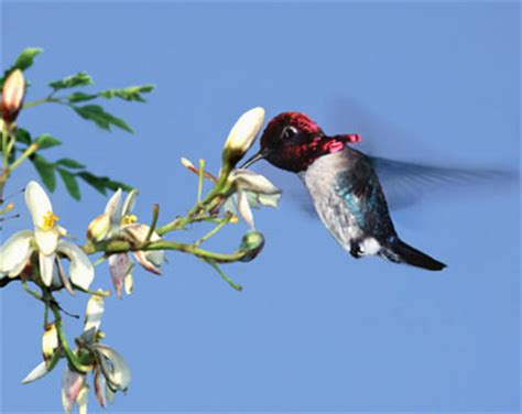 bee hummingbird for sale images