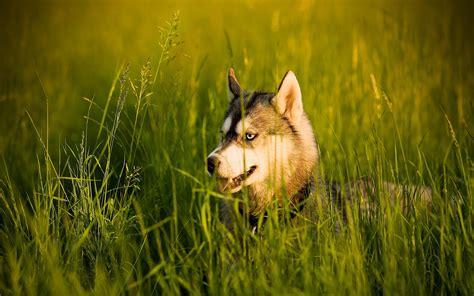 perro travieso travieso y fuerte husky siberiano fotos hd de perros