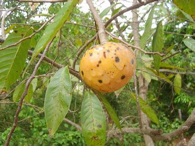 view post view from crooked tree fruit - Custard Apple Fruit Tree
