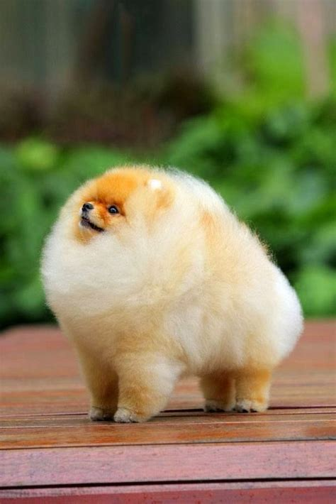 pomeranian facts chiwawa haircuts hairstylegalleries