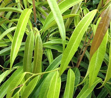 ficus sabrelongifolia mm pot dawsons garden world