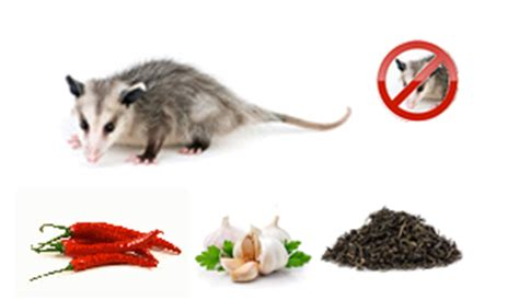 How To Get Rid Of Possums In Your Backyard by Healthy Living Repellents For Getting Rid Of