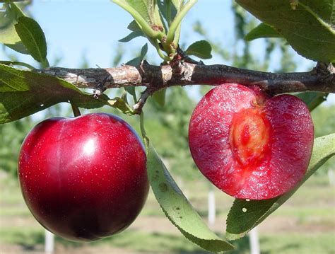 fruit trees for sale in michigan michigan plum growers plum variety descriptions