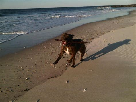 beaches that allow dogs near me friendly beaches near you foster dogs