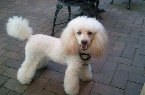 miniature poodle lifespan average 5 types of poodles that recognized unrecognized of akc
