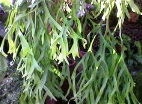 tanaman obat tanduk rusa paltycerium coronarium kuning