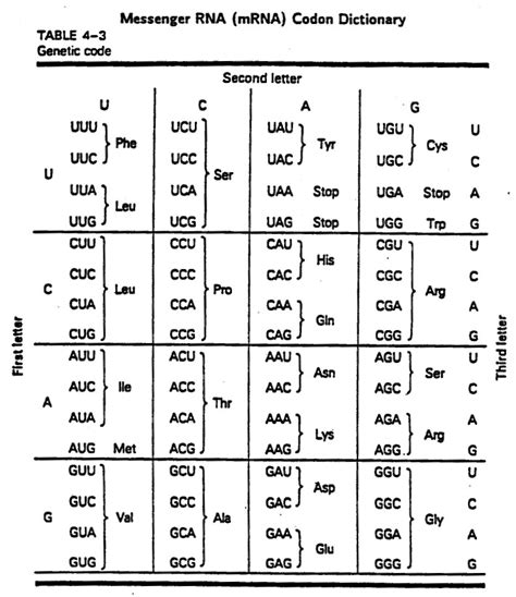 Codon Worksheet by Codon Chart Worksheet