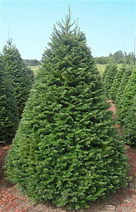 meadow fir 10 christmas tree images grand fir coniferous forest