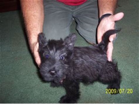 scottish terrier puppies florida scottish terrier puppies for sale