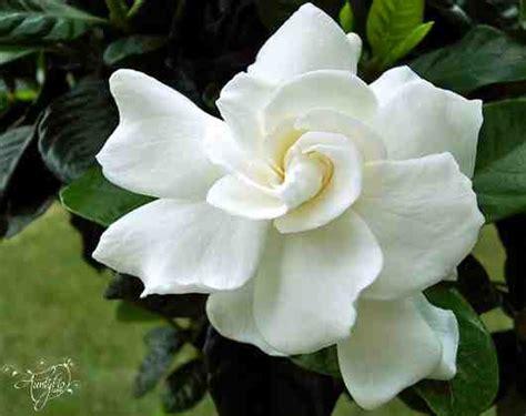 Gardenia Color Gardenia Flower Meaning Unlock The Secret Auntyflo