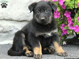 lab puppies for sale in pa german shepherd lab mix puppies for sale in pa
