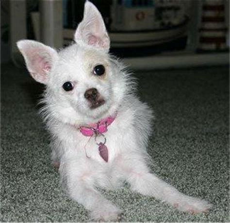 lifespan of chihuahua poodle mix chi poo chihuahua poodle mix info puppies temperament