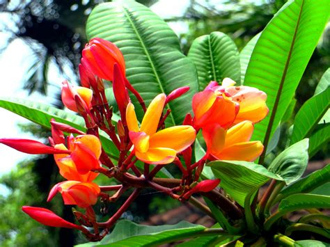 Nature Stek Bunga the world s best photos of bali and plumeria flickr hive