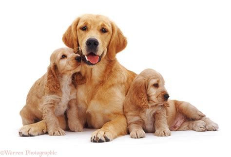 golden cocker retriever uk dogs golden retriever with golden cocker spaniel pups photo wp09595