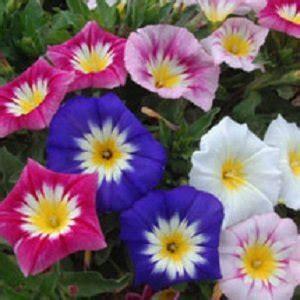 Jual Bibit Bunga Panca Warna jual beli bibit bunga 3 warna tricolor with original