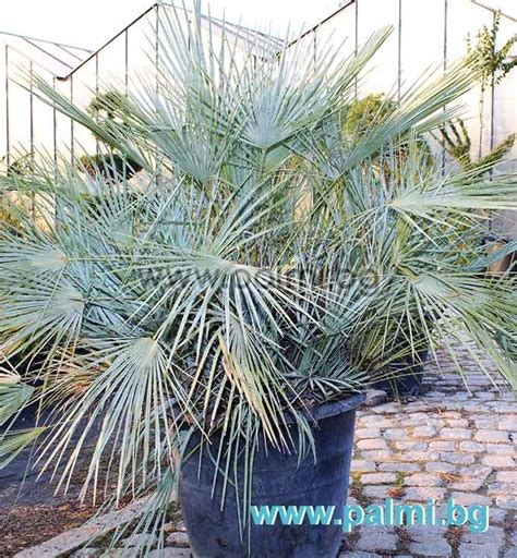 blue mediterranean fan palm for sale chamaerops humilis var cerifera blue mediterranean fan