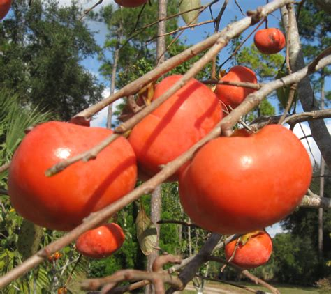 persimmon trees product categories just fruits and exotics - Persimmon Fruit Tree