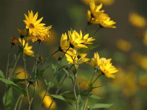 Gelbe Ameisen Im Garten 3820 by S 252 223 Kartoffel Ihr Leuchtendes Blattwerk Und Ihre Bl 252 Ten
