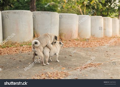 pugs in season lovely pug pug in mating season stock photo 554870452