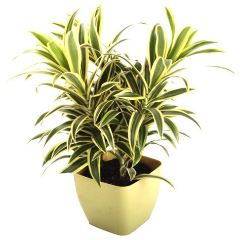 indoor plants india song of india this attractive houseplant is nasa s best