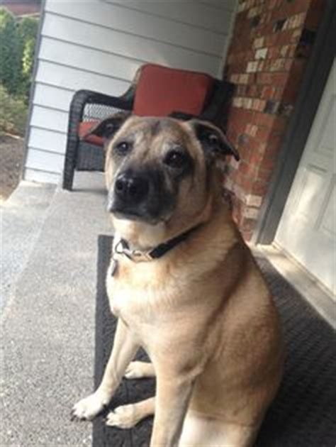 pug mixed with german shepherd pug and german shepard mix we are pug and so