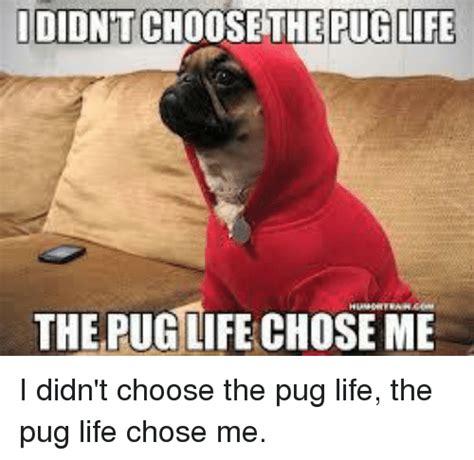 pug chose me pugs memes of 2016 on sizzle cars