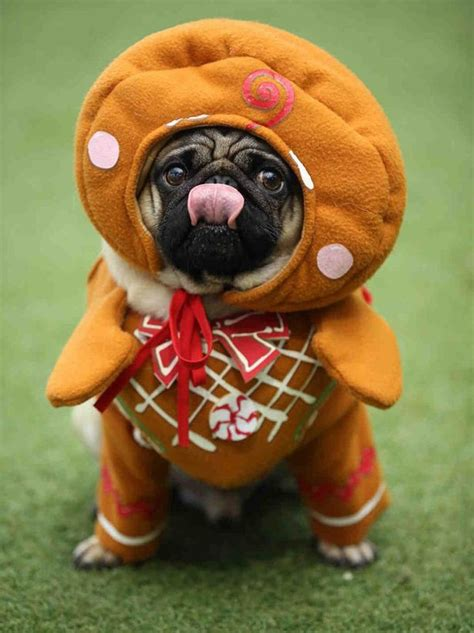 festive pug 10 adorable pugs dressed in really festive costumes for themed pugfest