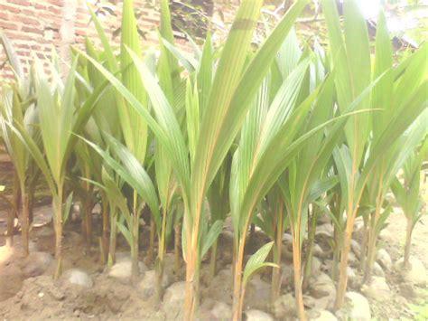 Harga Bibit Kelapa Kopyor 100 jual bibit kelapa kopyor genjah asli pati aneka bibit