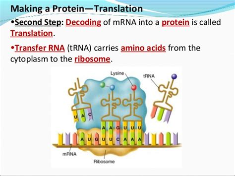 8 protein synthesis steps protein synthesis