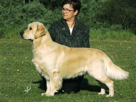 chion breed golden retriever golden retriever qld breeder standndeliva golden retrievers nsw australia