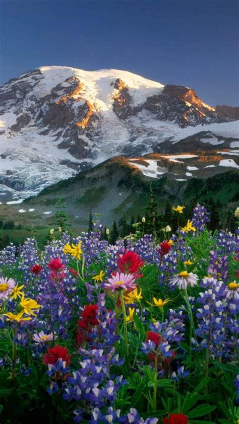 lupines flowers fields mountains trees nature snow