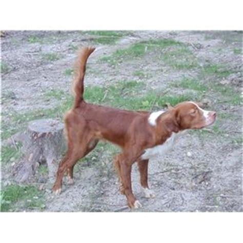 irish setter gun dogs for sale akc field breed irish setter for sale ad 67811
