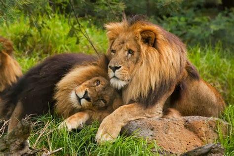 imagenes de leones macho y hembra los leones gays de botsuana y la homosexualidad en el