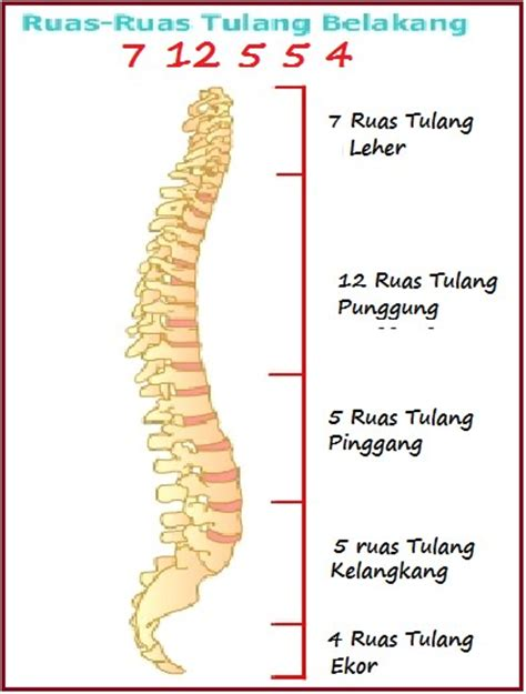 5 G Gelang Tulang Hiu belajar cerdas dengan cara yang tepat struktur rangka