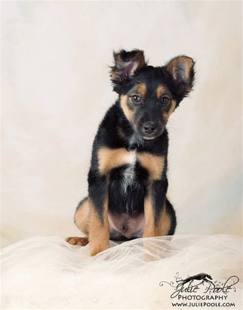 puppies for adoption in tn manchester terriers for adoption in tennessee breeds picture