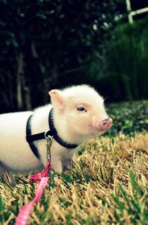 56 best images about pot belly pigs on pinterest