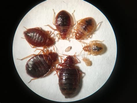 bed bugs   readers digest