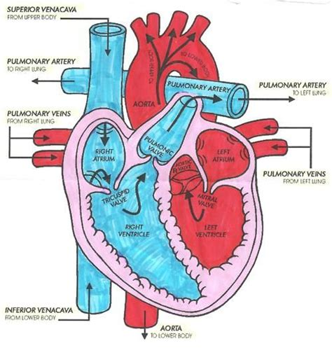 diagram with labels and blood flow 66 best learn to be a images on nurses