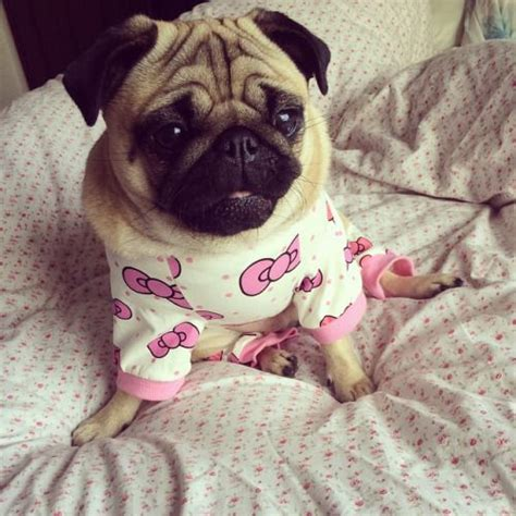 hello pug my hello pug by loulabeth http ift tt 1ym1vrf milly the pug