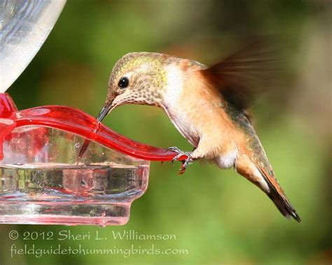 feeding hummingbirds seeing red over dye sheri l