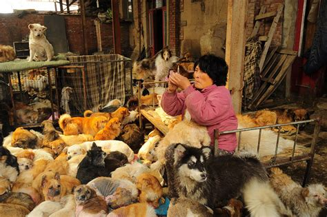 yulin festival in china travels 1 500 and pays 1 100 to save 100 dogs from