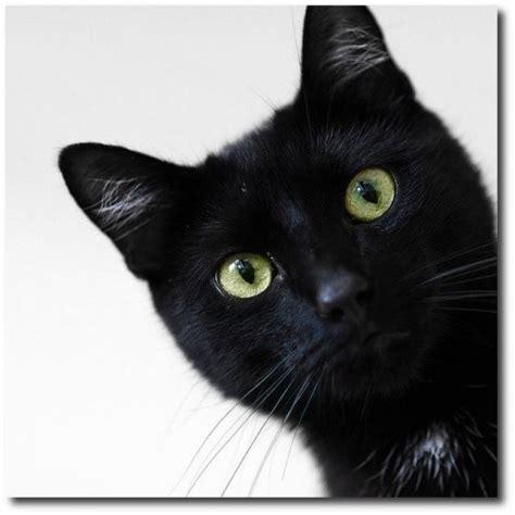 of a black cat suspicious black cat